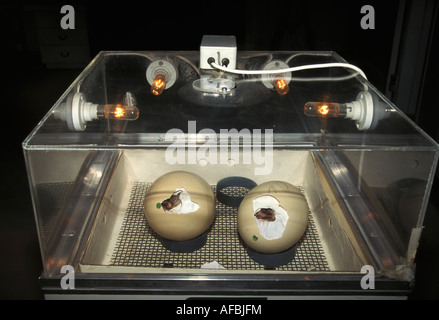 South Africa Oudshroorn Eggs in incubator at ostrich farm - Stock Photo