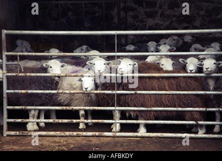 Herdwick sheep in pen Lake District National Park Cumbria England - Stock Photo