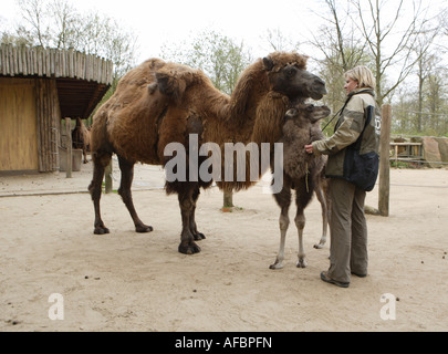 The zoo veterinary surgeon of the zoo Allwetterzoo Dr Sandra Silinski with the Bactrian camels - Stock Photo