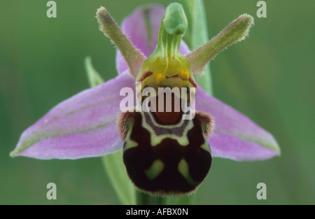 A close up of a bee orchid flower. - Stock Photo