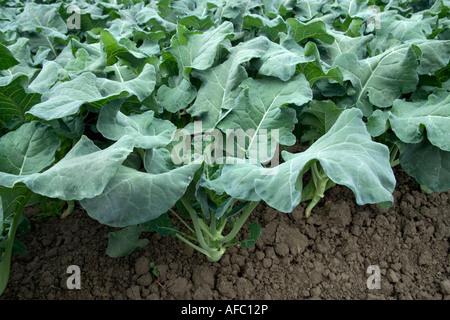 Kale plants growing, California - Stock Photo
