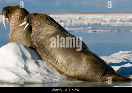 Two male walruses hauled out and resting on ice floe the animal s skin flushes pink when warm to dissipate heat - Stock Photo