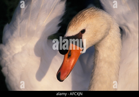 Netherlands Graveland Mute swan Cygnus olor - Stock Photo