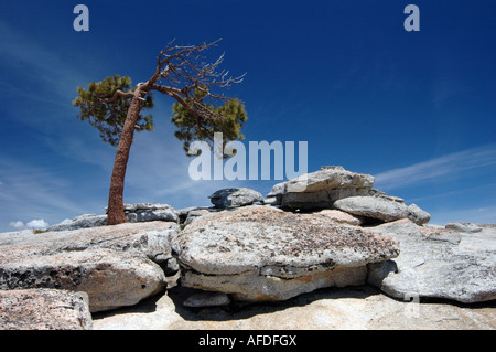 Lone tree growing at the top of Sentinel Dome, Yosemite, California, USA. - Stock Photo