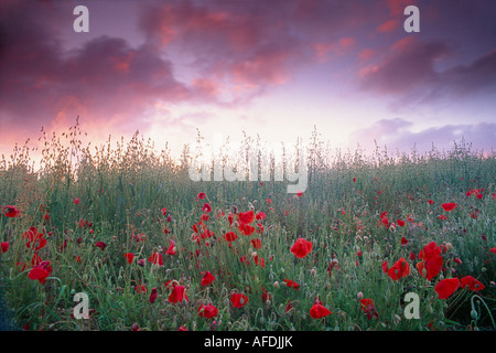 a field of poppies under a twilight sky, Dorset, England, UK - Stock Photo