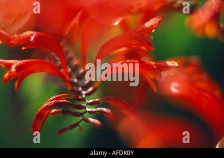 detail of a Crocosmia 'Lucifer' plant, Dorset, England, UK - Stock Photo