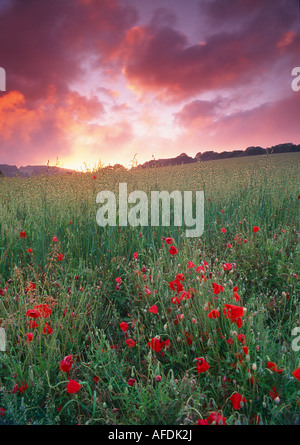 a poppy field under a twilight sky, Dorset, England, UK - Stock Photo