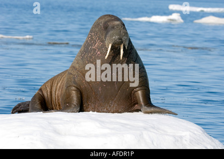 Female Atlantic walrus on ice floe.resting on ice floe the animal s skin flushes pink when warm to dissipate heat - Stock Photo