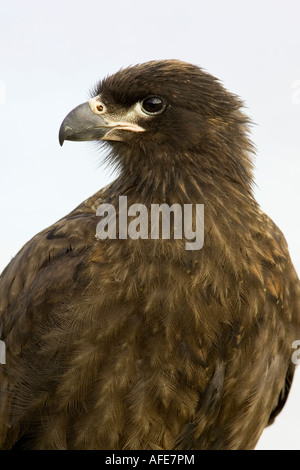 A facial study of a juvenile Striated Caracara - Stock Photo