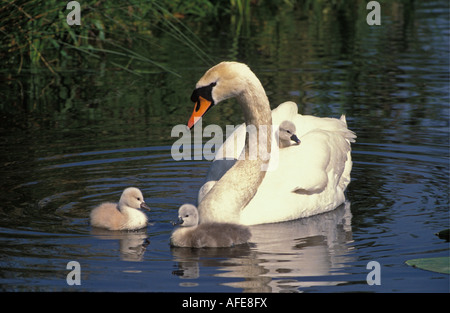 Netherlands Graveland Mute swan and young Cygnus olor - Stock Photo