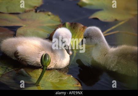 Netherlands Graveland Mute swan ducklings Cygnus olor - Stock Photo