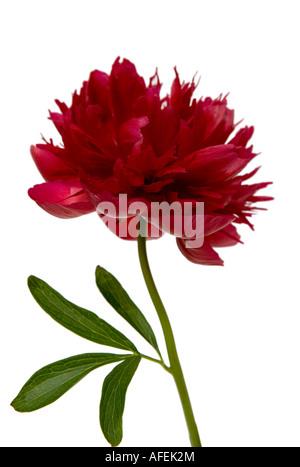 Red flowering Peony - Stock Photo