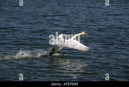 Netherlands Graveland Mute swan landing on water surface - Stock Photo