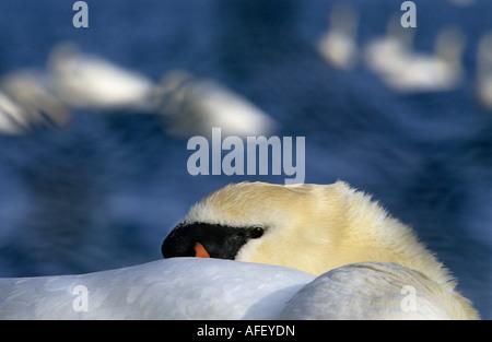 Netherlands Graveland Mute swan resting Cygnus olor - Stock Photo