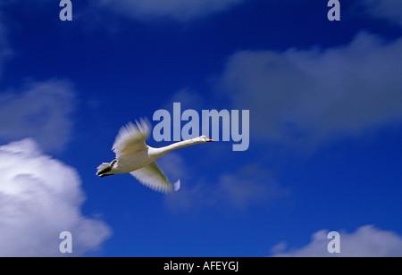 Netherlands Graveland Mute swan flying under cloudy sky - Stock Photo