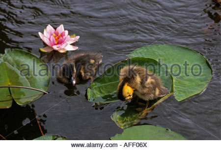 Netherlands Graveland Ducklings on leaves and in water - Stock Photo