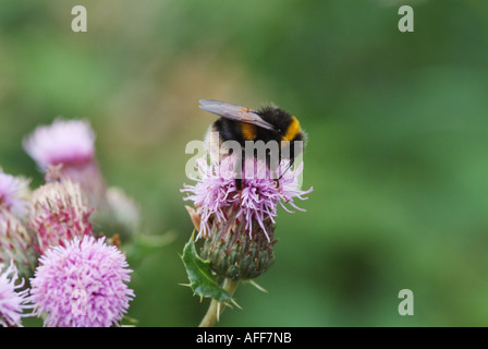 Bumble bee (Bombus sp.) feeding on thistle flowers, Scotland, UK - Stock Photo