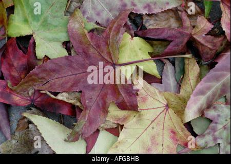 082 Herbstlaub Ahornblaetter am Boden liegend - Stock Photo