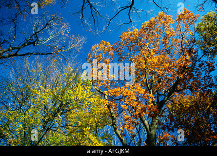 colourful tree tops in autumn seen from below with deep blue skies - Stock Photo