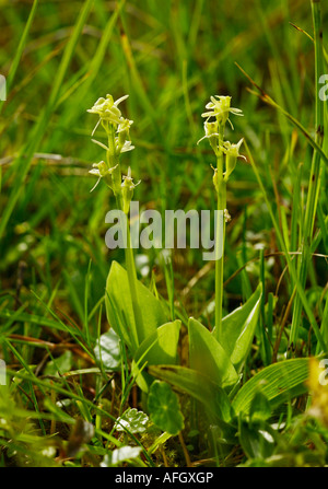 Pair of Fen orchid Liparis loeselii subspecies ovata growing in dune slacks at Kenfig in South Wales - Stock Photo