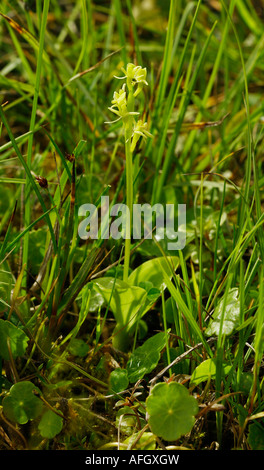 Fen orchid Liparis loeselii subspecies ovata growing in dune slacks at Kenfig in South Wales - Stock Photo