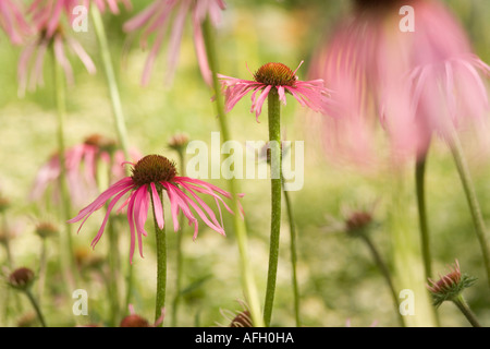Sonnenhut (Elettaria cardamomum) - Stock Photo