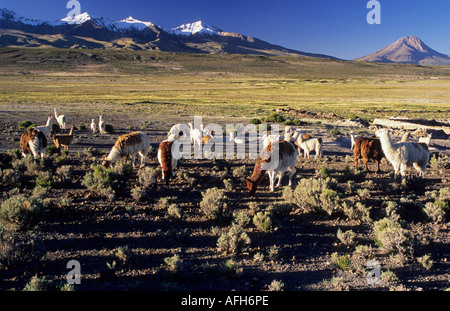 Alpacas on a bofedal near Colchane with Cerro Cabaray (6433 m), Isluga National Park, Chile - Stock Photo