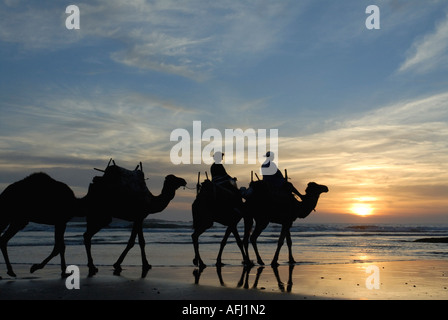 Tourists on camel ride camel sunset seashore beach at Essaouira Morocco North Africa - Stock Photo