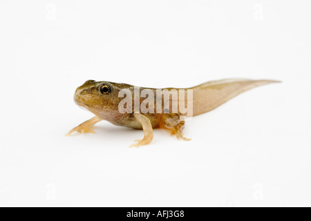 A frog recently transformed from a tadpole that still has a tail which has yet to shrink - Stock Photo