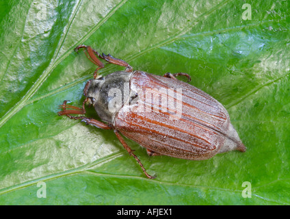 Cockchafer (May-Bug) – Melolontha melolontha on Ivy