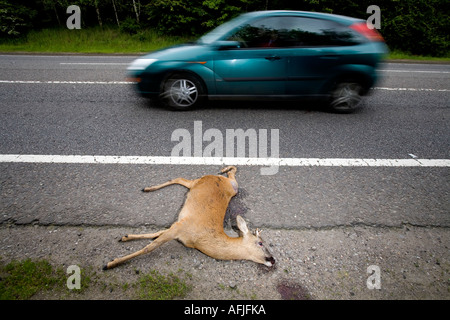 A young Deer lies on the side of a road after becoming a casualty of road kill in Warwickshire England UK - Stock Photo