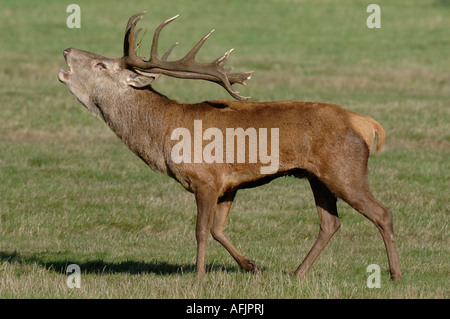 A male red deer ( stag) during the rutting season in the U.K. - Stock Photo