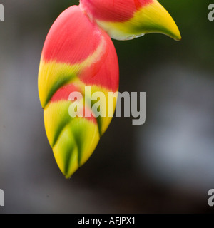 Heliconia sp Rain forest near the Pastasa River in south east Ecuador South America - Stock Photo