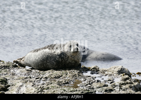 common or harbour seal phoca vitulina with grey seal halichoerus grypus in background basking on rocks in Rathlin - Stock Photo
