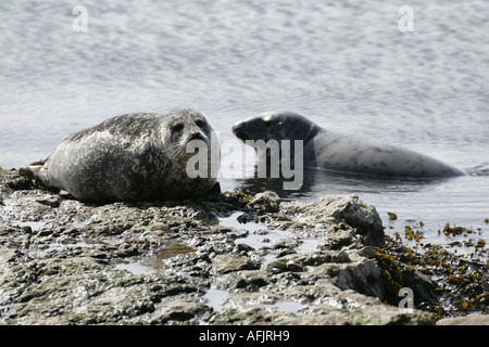 common or harbour seal phoca vitulina with grey seal halichoerus grypus basking on rocks in Rathlin Harbour rathlin - Stock Photo
