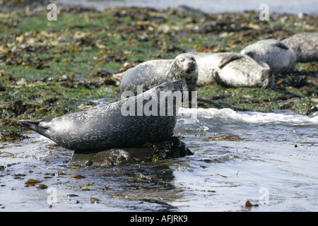 grey and harbour seals bask on rocks in rathlin harbour church bay rathlin island northern ireland - Stock Photo
