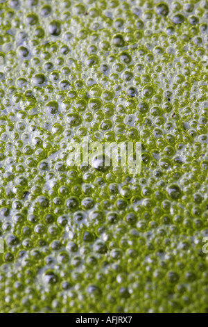 close up of bubbles in green algae pond scum fresh stagnant water - Stock Photo