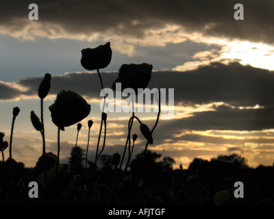 Sun set over Masham in the Yorkshire dales with Field poppies in the foreground - Stock Photo