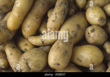 Solanum tuberosum 'Ratte'.  AGM Freshly dug early maincrop potatoes. - Stock Photo