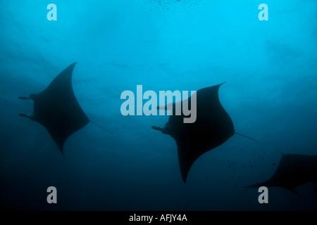 Maldives three giant manta ray manta birostris - Stock Photo
