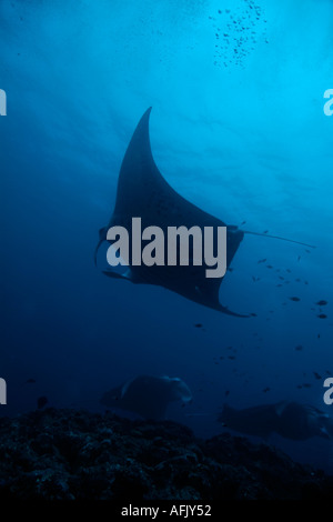 Maldives three giant manta ray manta birostris - Stock Photo