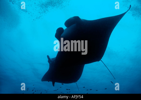 Maldives two giant manta ray manta birostris - Stock Photo