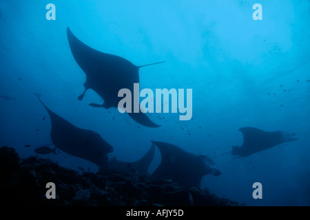 Maldives five giant manta ray manta birostris - Stock Photo
