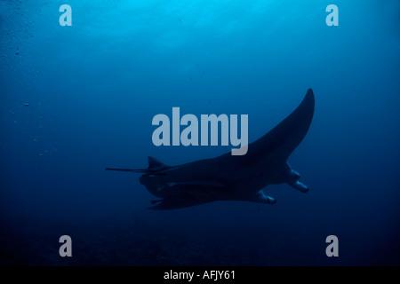 Maldives north male atoll lankan a giant manta ray manta birostris - Stock Photo