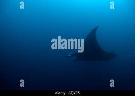 Maldives faadhippolhu atoll fushi faru a giant manta ray manta birostris - Stock Photo