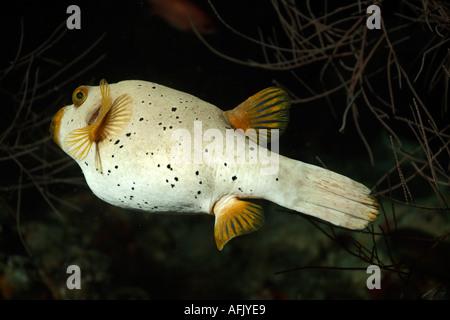 Black Spotted Pufferfish Arothron Nigropunctatus Swimming - Stock Photo
