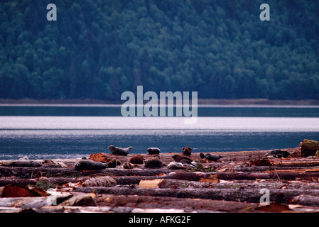 Harbour Seals (Phoca vitulina richardsi) basking on Log Boom, Northern BC, British Columbia Canada - Stock Photo