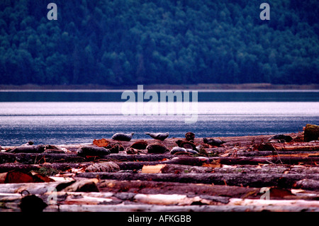 Harbour Seals (Phoca vitulina richardsi) basking on Log Boom in Pacific Ocean, Northern BC, British Columbia, Canada - Stock Photo