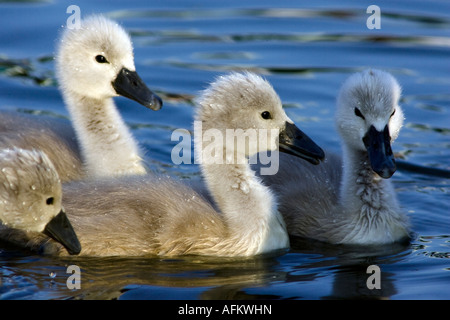 Four cygnets baby swans with droplets of water on their down feathers River Stour Sudbury Suffolk England - Stock Photo