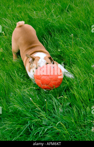 Bulldog Playing with soccer ball, Netherlands - Stock Photo